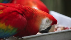 Feeding Scarlet Macaws Stock Footage