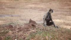 Gray langur, or a Hanuman langur in field in Anuradhapura Stock Footage