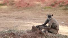 Gray langur, or a Hanuman langur looking at you_1135 Stock Footage