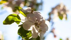 Close up of the apple tree flowers Stock Photos