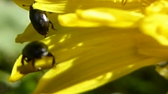 Two pollen beetles walking across dandelion petals, British insects 1 of 14 Stock Footage