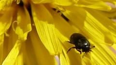 Pollen beetle walks on top of & under dandelion petals, British insects 5 of 14 Stock Footage