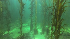 Southern California Kelp Forest Stock Footage
