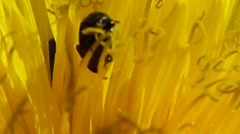 Pollen beetles & tiny insects in centre of a dandelion, British insects 10 of 14 Stock Footage