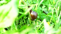 Stock Video Footage of Slow brown snail climbing grass