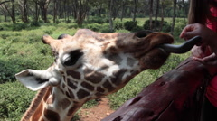 GIRAFFE TOURISTS FEEDING BY HAND AFRICA Stock Footage