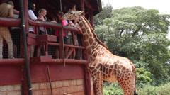 GIRAFFE TOURISTS FEEDING BY HAND AFRICA Stock Footage