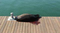 Sea Lion Sleeping On Dock Stock Footage