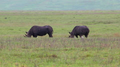 WILD RHINOCEROS GRAZING NGORONGORO CRATER Stock Footage