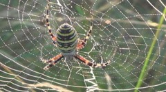 Spider web,  field thistle Stock Footage