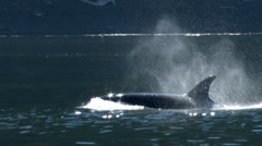 Orca, Killer Whale, Whales, Pod, HD Stock Footage