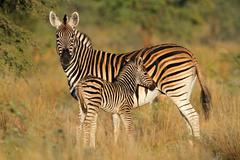 Plains zebra with foal Stock Photos