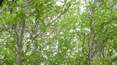 Mangrove forest at Prachuap Khiri Khan province , Thailand. Stock Footage