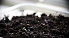 Time lapse of Sprouts Growing - stock footage