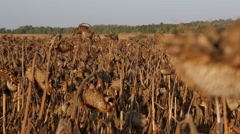 Filed of Dried sunflower Stock Footage