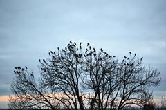 Crow Stock Photos