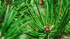 Black ant on pine tree, macro Stock Footage