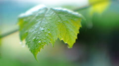 Grape Leaves In The Rain Stock Footage
