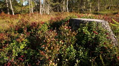 Wild Berries low angle shot woodland Stock Footage