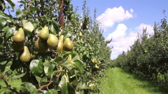 Pear  orchard in Netherlands. - stock footage