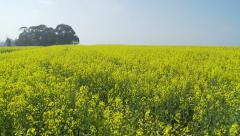 Glidecam shot through canola fields pathway Stock Footage