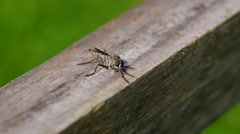 Horseflies on a wooden board Stock Footage