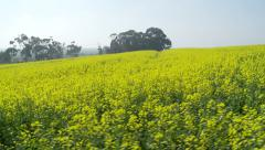 Glidecam shot through canola fields sideways Stock Footage