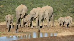 African elephants drinking water Stock Footage