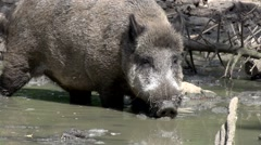 Wild boar in the dirt Stock Footage