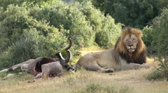 African lion with prey Stock Footage
