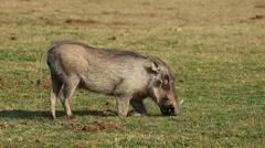 Warthog feeding Stock Footage