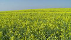 Glidecam shot through canola fields low horizon Stock Footage