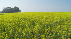 Glidecam shot through canola fields with trees background Stock Footage