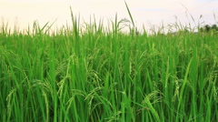 rice field in Thailand , dolly shot from right to left - stock footage