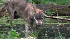 Wolf in the water Stock Footage