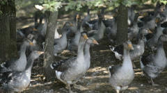 Perigord geese, france Stock Footage