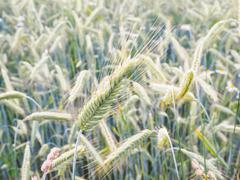Whole green barley grain in a field Kuvituskuvat