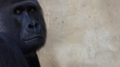 4k Silverback Gorilla portrait closeup with free space at right screen Stock Footage