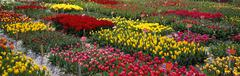 Tulips in Alkmaar, Netherlands - stock photo