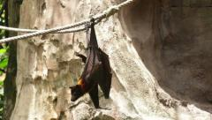 Huge Bat Giant Golden-Crowned Flying Fox Stock Footage