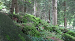 Beautiful magical forest used as a backround in The Chronicles of Narnia scenes Stock Footage