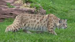 P03801 Bobcat aka Wildcat in Stalking Mode with Ears Laid Back - stock footage