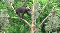 P03802 Black Bear Cub Climbing in Treetop in Forest Stock Footage