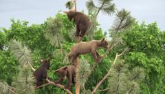 P03803 Bear Cubs Climbing and Playing in Pine Tree Stock Footage