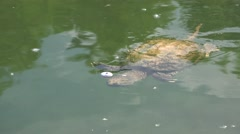 P03809 Snapping Turtle with Fishing Bobber Hook Injury Stock Footage