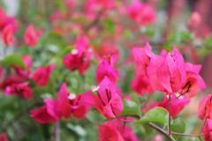 Pink Pixie Bougainvillea - stock photo