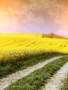 yellow field with oil seed rape in early spring - stock photo