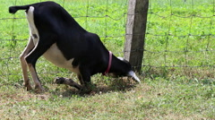 Black white goat on knees grazing grass Stock Footage