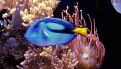 Blue fish swims past an anemone  Stock Footage