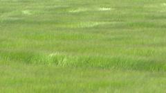Hordeum vulgare, barley field waving in summer breeze - full screen, medium shot Stock Footage